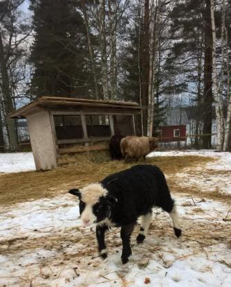 taisto-lammas